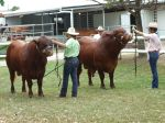 Our two bulls in interbreed Cairns 2010 -